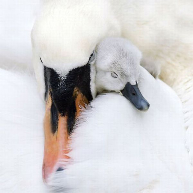 As a result of the recent extreme mild weather experienced in the U.K. over 120 pairs of nesting swans at Abbotsbury on Chesil beach in Dorset have already hatched their cygnets. Up to 1000 swans reside in the natural waterway each year. Picture David Parker 21.05.11